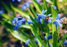 The bee on scilla. Royalty Free Stock Photography