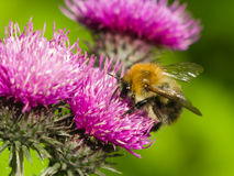 Bee on scotch thistle flower macro, selective focus Royalty Free Stock Photos