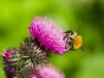 Bee on scotch thistle flower macro, selective focus Stock Photos