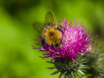 Bee on scotch thistle flower macro, selective focus Royalty Free Stock Photo