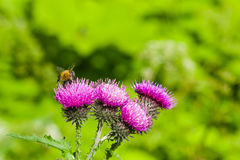 Bee on scotch thistle flower macro, selective focus, shallow DOF Stock Image