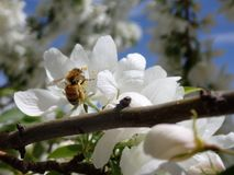 A Bee sits on White Cherry Blossoms. A bee searches for pollen in the blossoms on a tree in the Spring Royalty Free Stock Images