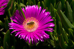 A bee on a seaside flower Royalty Free Stock Photography