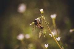 Bee seating on white spring flower Royalty Free Stock Photography