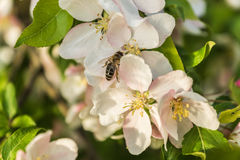 Bee seatting on an Apple blossom, close up. Royalty Free Stock Photography