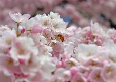 Bee frolicking among the cherry blossoms. Bee among the Seattle Arboretum cherry trees at the beginning of spring stock image