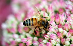Bee on sedum Stock Photos