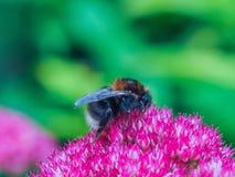 Bee on a Sedum Flower Stock Photo