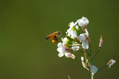 Bee with seeds. Above white flower Stock Image