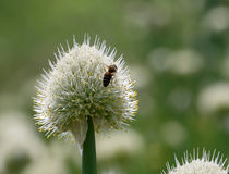 Bee settled among the flower. In sunny day Royalty Free Stock Images