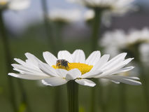 Bee on a Shasta Daisy Royalty Free Stock Images
