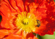 Bee Explores Poppy Stamens. A bee showing off its bright pollen-sac prowls the luxurious and pollen-rich stamens of a California orange poppy Stock Photo