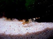 Bee shrimp (Caridina cantonensis) royalty free stock photography