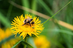 Bee Sipping on a Flower Nectar Stock Photo