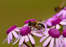 Bee sipping inside small wild flowers pericallis webbii stock images