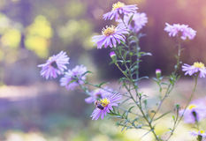 A bee sits on Aster novi-belgii in garden in autumn Royalty Free Stock Photos