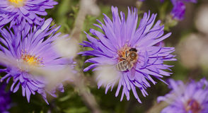A bee sits on a beautiful flower. And collects nectar, selective focus Royalty Free Stock Image