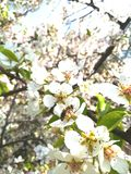A bee sits on a cherry flower pollinates spring blossom gardens insect royalty free stock photos