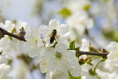 A bee sits on a cherry tree flower and collects pollen stock images