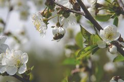 A bee sits on a cherry tree flower and collects pollen stock image