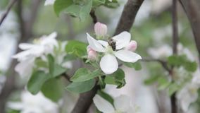 The bee sits on a flower of a bush blossoming apple-tree and pollinates him.  stock video