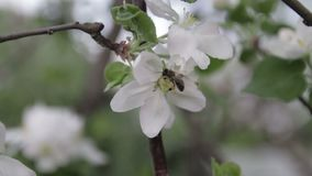 The bee sits on a flower of a bush blossoming apple-tree and pollinates him.  stock video footage