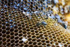 Bee sits on a honeycomb and processes honey stock photo