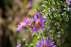 Bee sits on a purple flower. Bee pollinates flowers stock photos