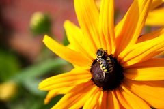 Bee on a sunflower. The bee sits on a sunflower on a sunny summer day Royalty Free Stock Photo