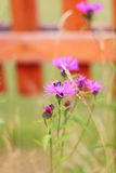 Bee sits on violet field flower at garden near fence. Shallow de Stock Images