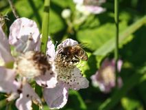 A bee sits on a white blossom, an apple blossom, its legs are full of pollen sacs. The head is deep in the pollen of the flower, close-up, soft background with stock photos
