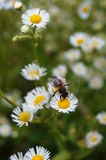 The bee sits on a white flower with a yellow center Stock Image