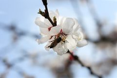 The bee sits on the white flowers of the cherry tree. Close-up, beautiful, romantic blur. The bee sits on the white flowers of the cherry tree. Close-up stock images