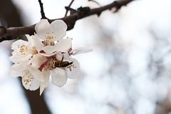 The bee sits on the white flowers of the cherry tree. Close-up, beautiful, romantic blur. The bee sits on the white flowers of the cherry tree. Close-up royalty free stock photo