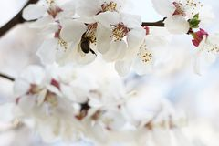 The bee sits on the white flowers of the cherry tree. Close-up, beautiful, romantic blur. The bee sits on the white flowers of the cherry tree. Close-up royalty free stock photos