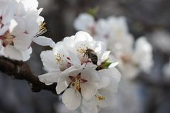 The bee sits on the white flowers of the cherry tree. Close-up, beautiful, romantic blur. The bee sits on the white flowers of the cherry tree. Close-up stock photos