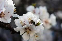 The bee sits on the white flowers of the cherry tree. Close-up, beautiful, romantic blur. The bee sits on the white flowers of the cherry tree. Close-up stock photo