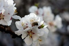 The bee sits on the white flowers of the cherry tree. Close-up, beautiful, romantic blur. The bee sits on the white flowers of the cherry tree. Close-up royalty free stock image