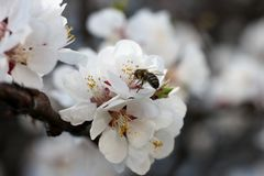 The bee sits on the white flowers of the cherry tree. Close-up, beautiful, romantic blur. The bee sits on the white flowers of the cherry tree. Close-up stock photography