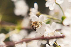 The bee sits on the white flowers of the cherry tree. Close-up,. Beautiful, romantic blur stock photo