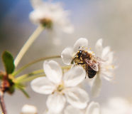The bee sits on the white flowers of the cherry tree. Close-up,. Beautiful, romantic blur royalty free stock image