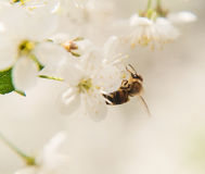 The bee sits on the white flowers of the cherry tree. Close-up,. Beautiful, romantic blur stock photos