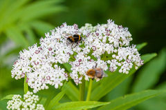 The bee sits on white flowers. Close up stock photos