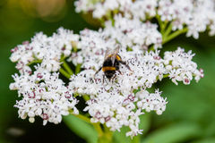 The bee sits on white flowers. Close up royalty free stock image