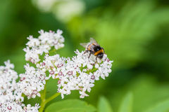 The bee sits on white flowers. Close up stock image