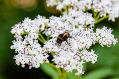 The bee sits on white flowers. Close up stock photography