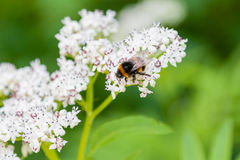 The bee sits on white flowers. Close up royalty free stock photos