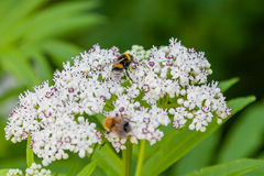 The bee sits on white flowers. Close up royalty free stock photography