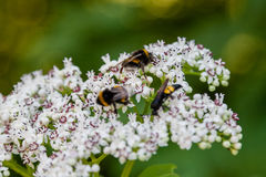 The bee sits on white flowers. Close up royalty free stock photo
