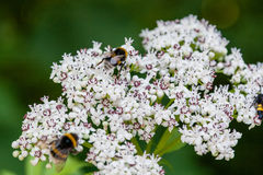 The bee sits on white flowers stock photos